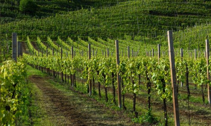 Wine Vine