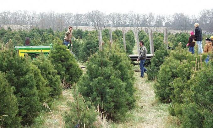 Starr Pines Christmas Tree Farm