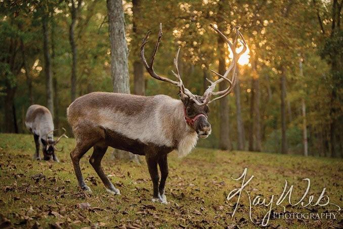 Show-Me Reindeer